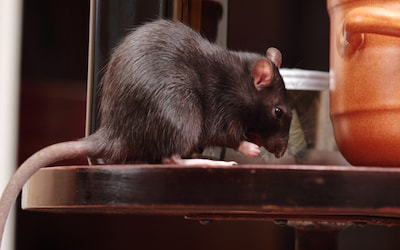 6 Signs That Your Home Has Rodent Infestation
